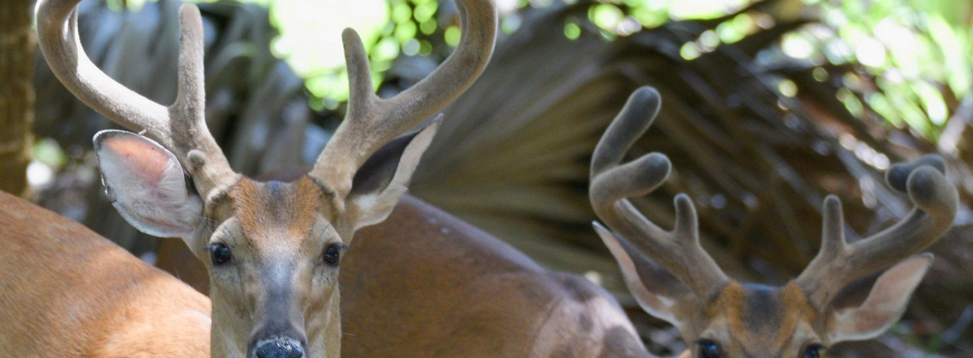 Edisto Deer