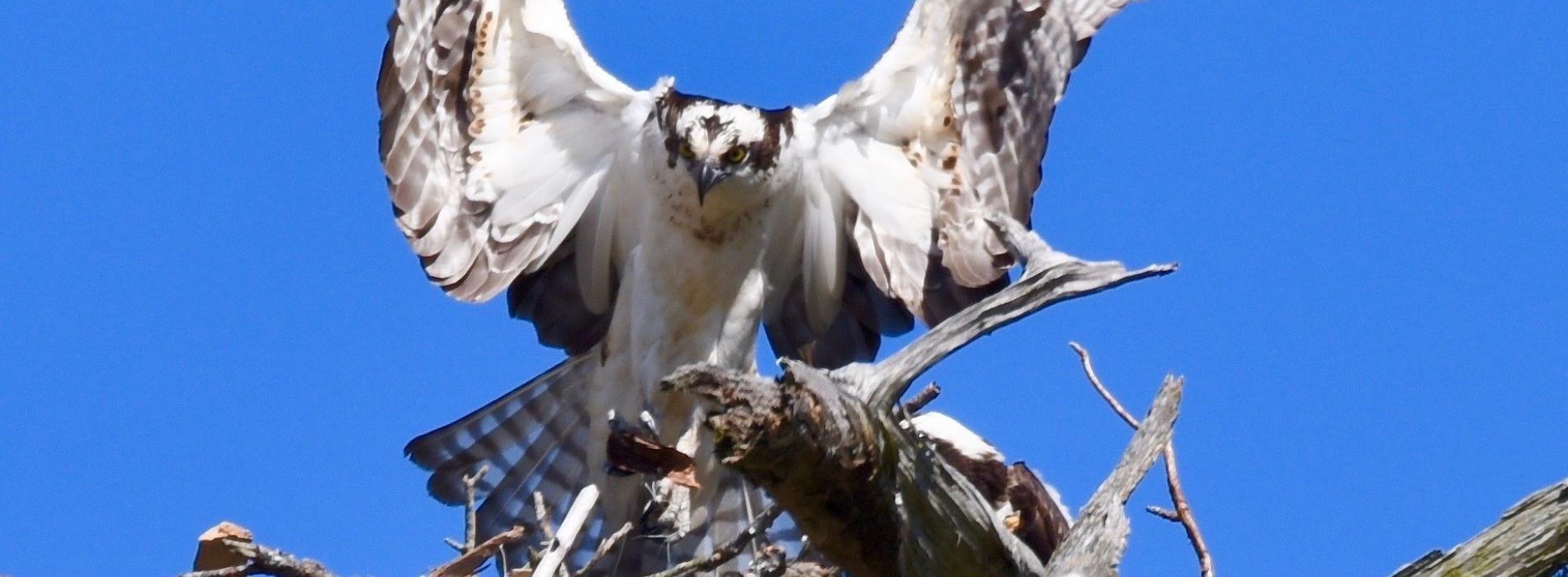 Edisto Beach Osprey